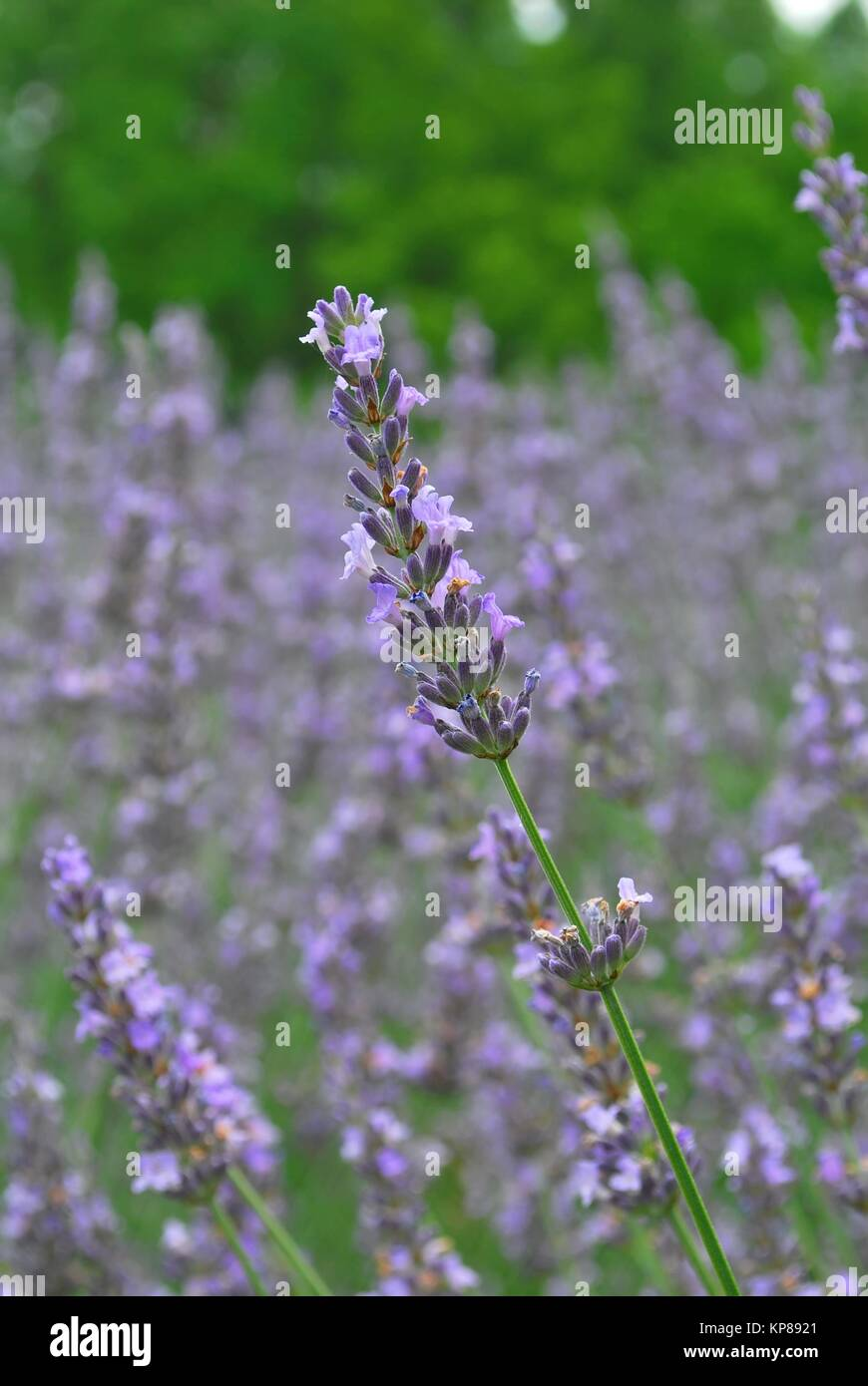Lavender in a huge meadow during summer a symbol of the summer lavender in a huge meadow during summer a symbol of the summer season serenity and peace biocorpaavc Gallery