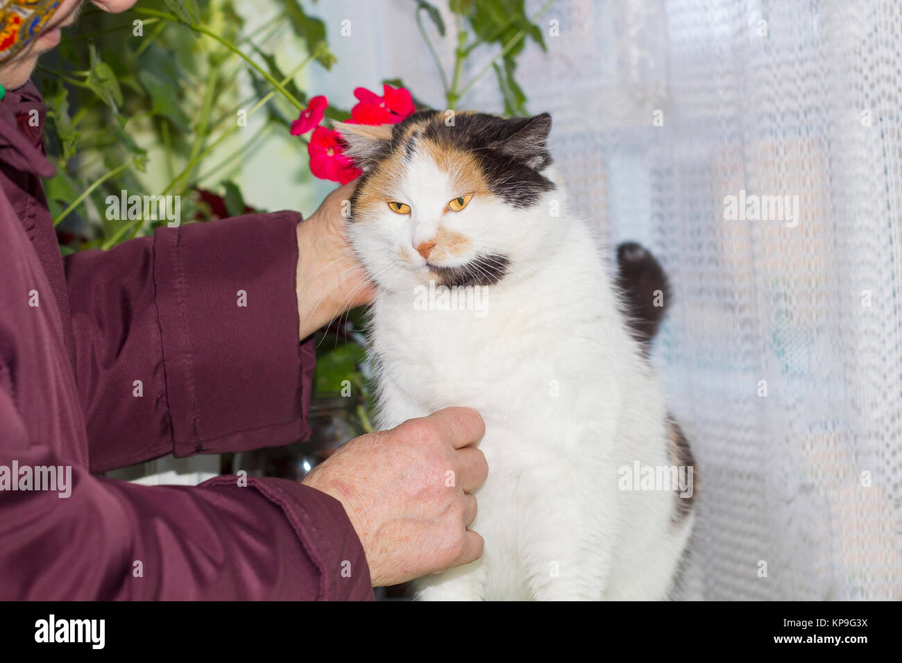 Old woman stroking calico cat with orange eyes Stock Photo ...