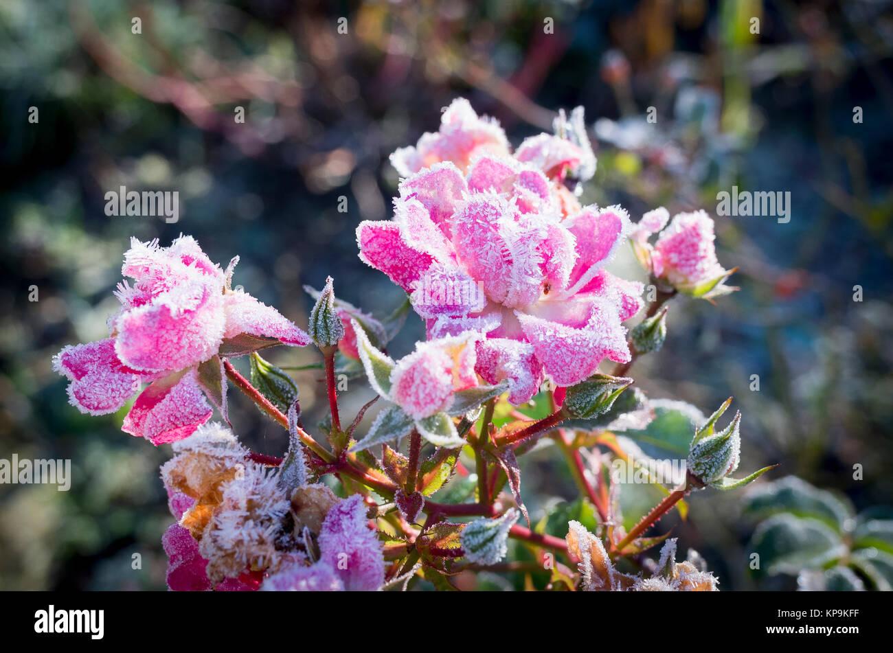 Frosted cluster flowered rose flower carpet pink in december 2017 in frosted cluster flowered rose flower carpet pink in december 2017 in uk mightylinksfo