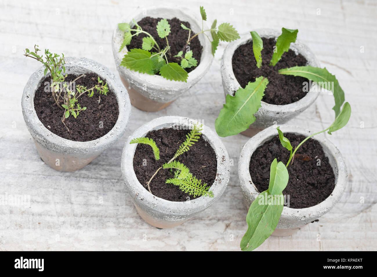 Perfect Wildkruter In Tpfen Topf Blumentopf Tpfe Blumentpfe Oregano  Schafgarbe With Groe Blumentpfe With Kaktus Kpa