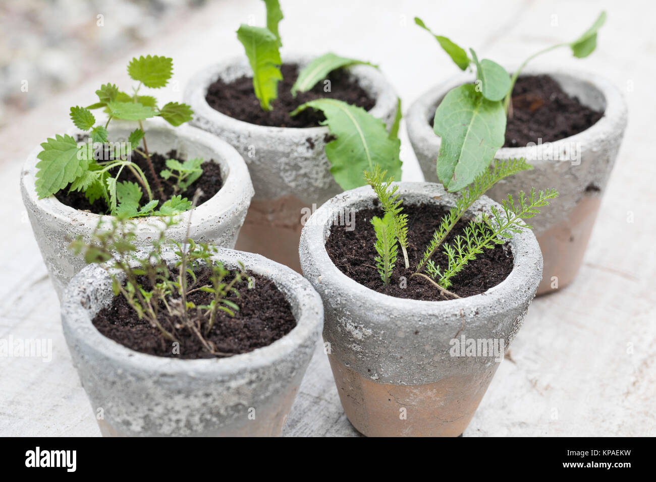 Sand Plantain Plantago Stock Photos U0026 Sand Plantain Plantago Stock Images    Alamy