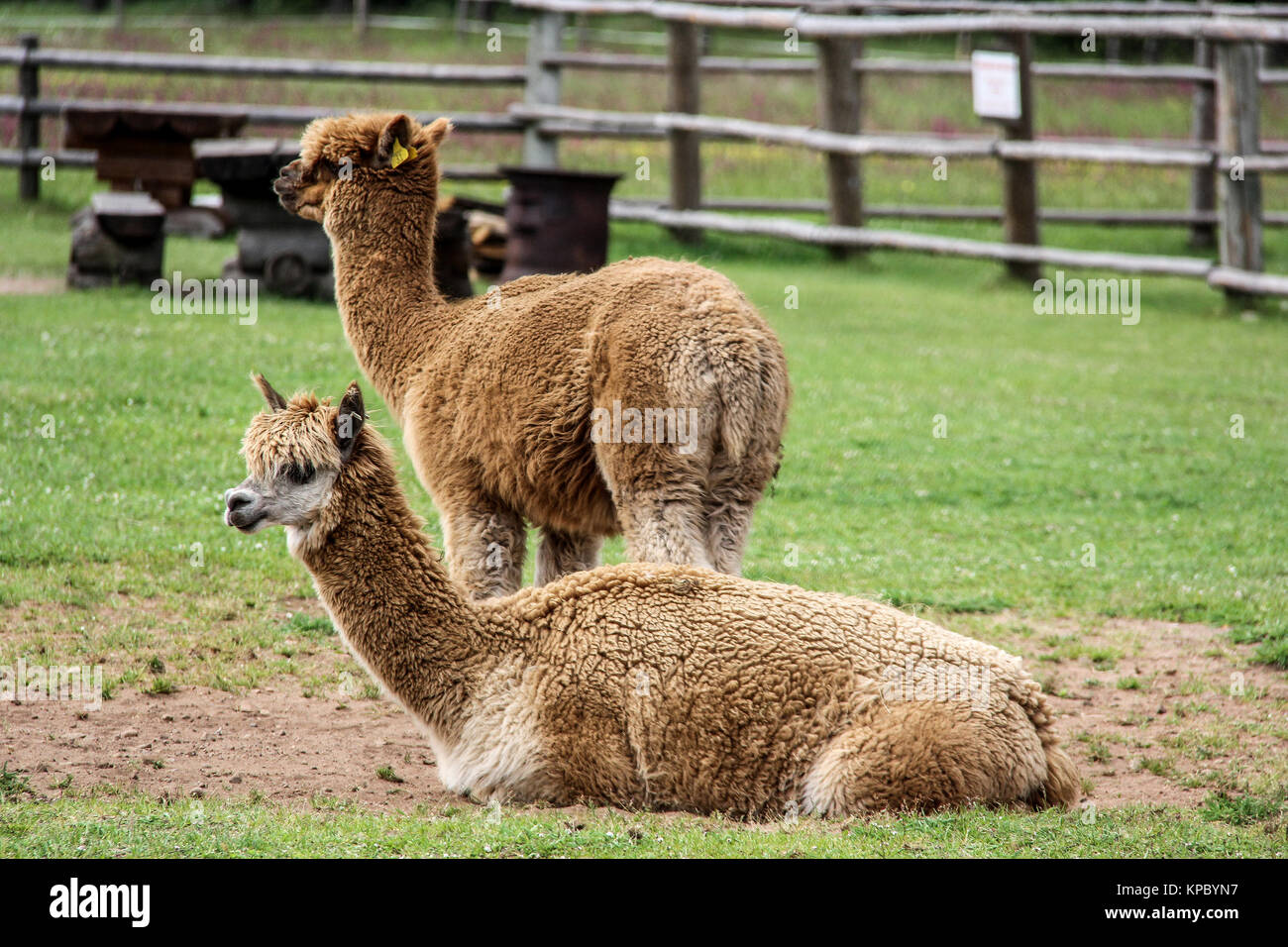 Funny Alpaca Stock Photos Funny Alpaca Stock Images Alamy - 22 hilarious alpaca hairstyles