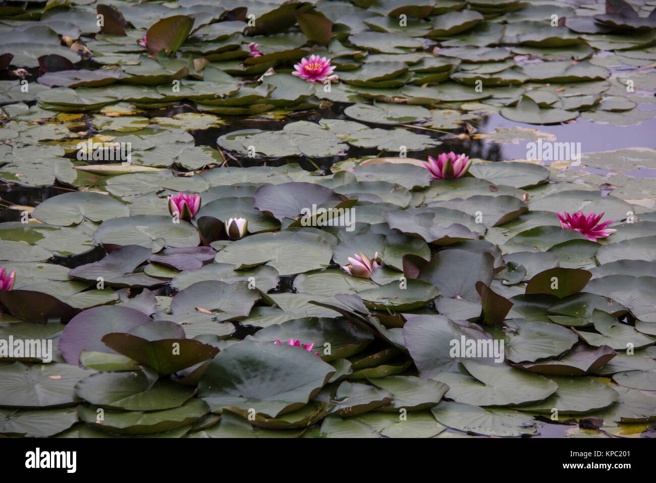 Waterlily with reflection stock photos waterlily with for Green pond water