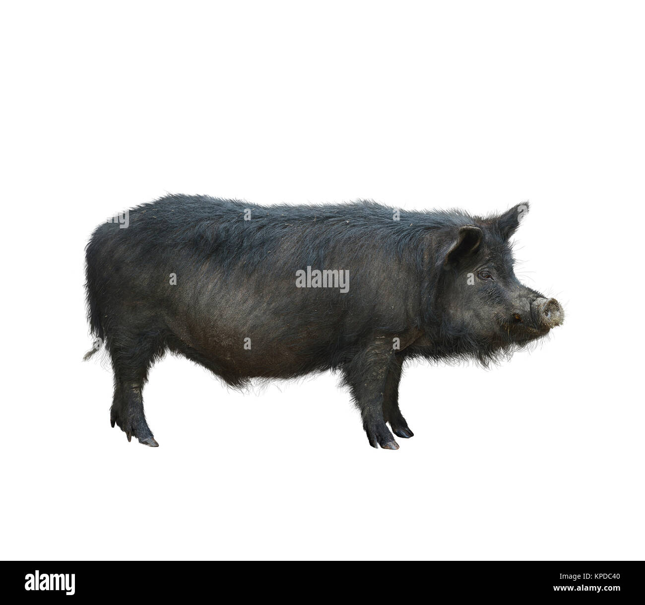 Boar hog cut out stock images pictures alamy wild black hog isolated on white background stock image biocorpaavc