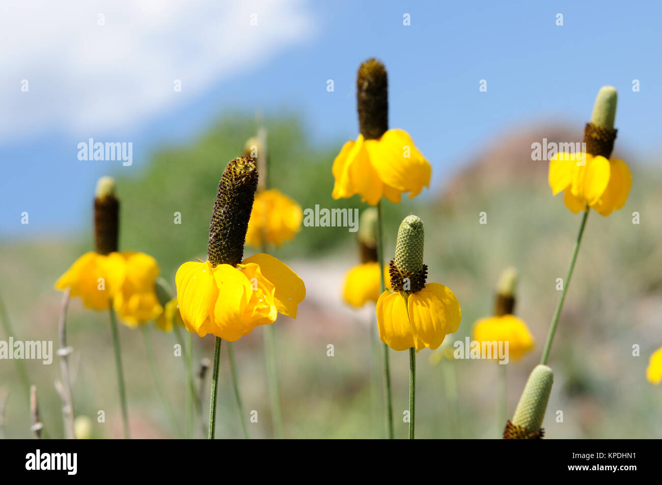 Yellow Prairie Coneflowers Flowers With Yellow Skirt Blooming On A