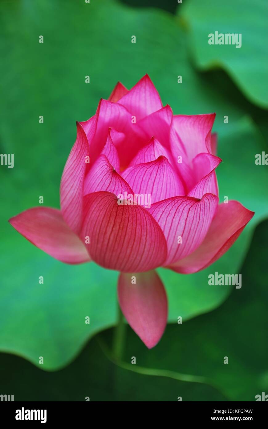 Lotus flower bud symbolizing religion buddhism purity serenity lotus flower bud symbolizing religion buddhism purity serenity zen the summer season buddha enlightenment bliss joy and other abstract conce mightylinksfo
