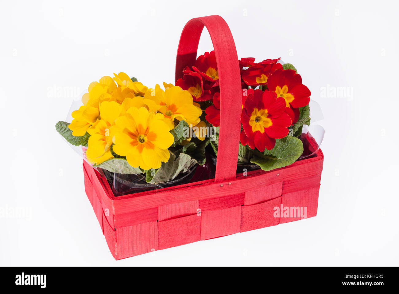 Blooming Spring Flowers Of Primula In Red Basket Stock Photo