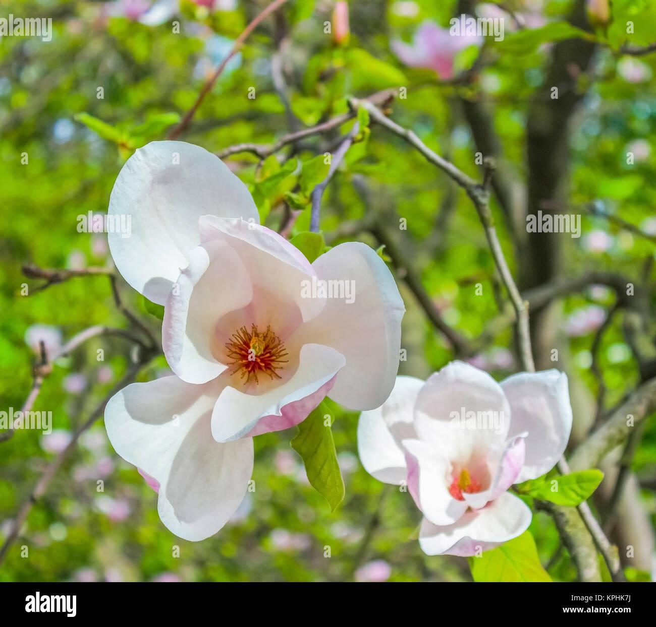 White Magnolia Flower Closeup Stock Photo 168804038 Alamy