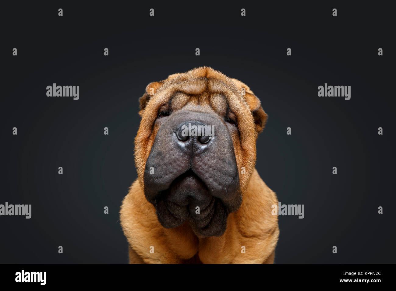 how to train a shar pei puppy