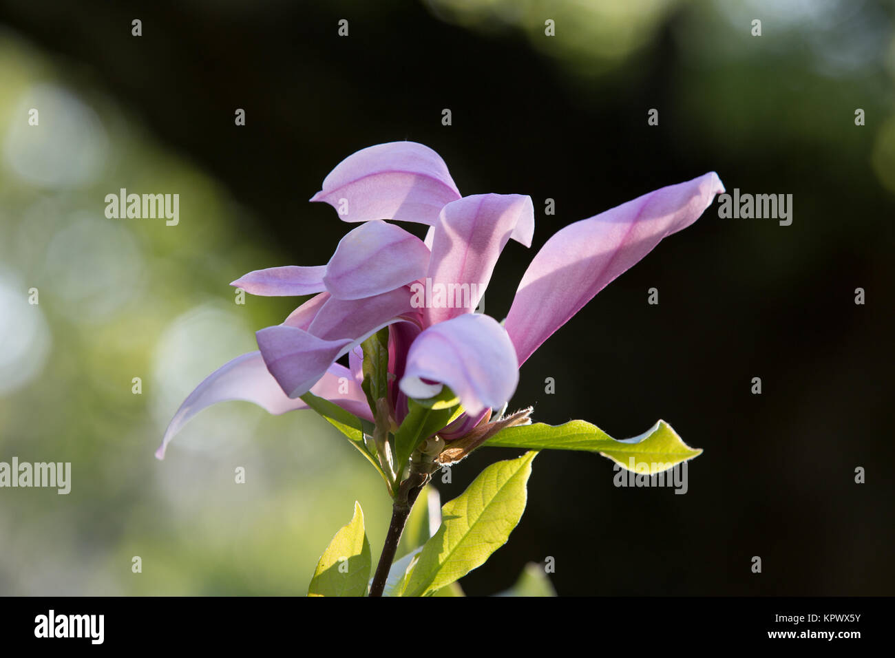 Flower of the lily like magnolia tree stock photo 168985095 alamy flower of the lily like magnolia tree izmirmasajfo Image collections