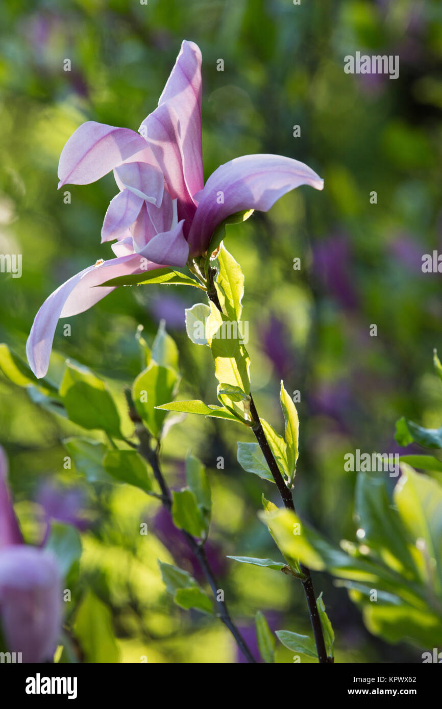 Flower of the lily like magnolia tree stock photo royalty free flower of the lily like magnolia tree izmirmasajfo Image collections