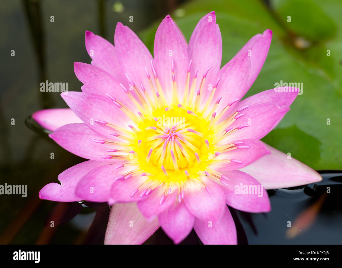 Lotus blossom with lily pad stock photo royalty free image lotus blossom with lily pad izmirmasajfo Images