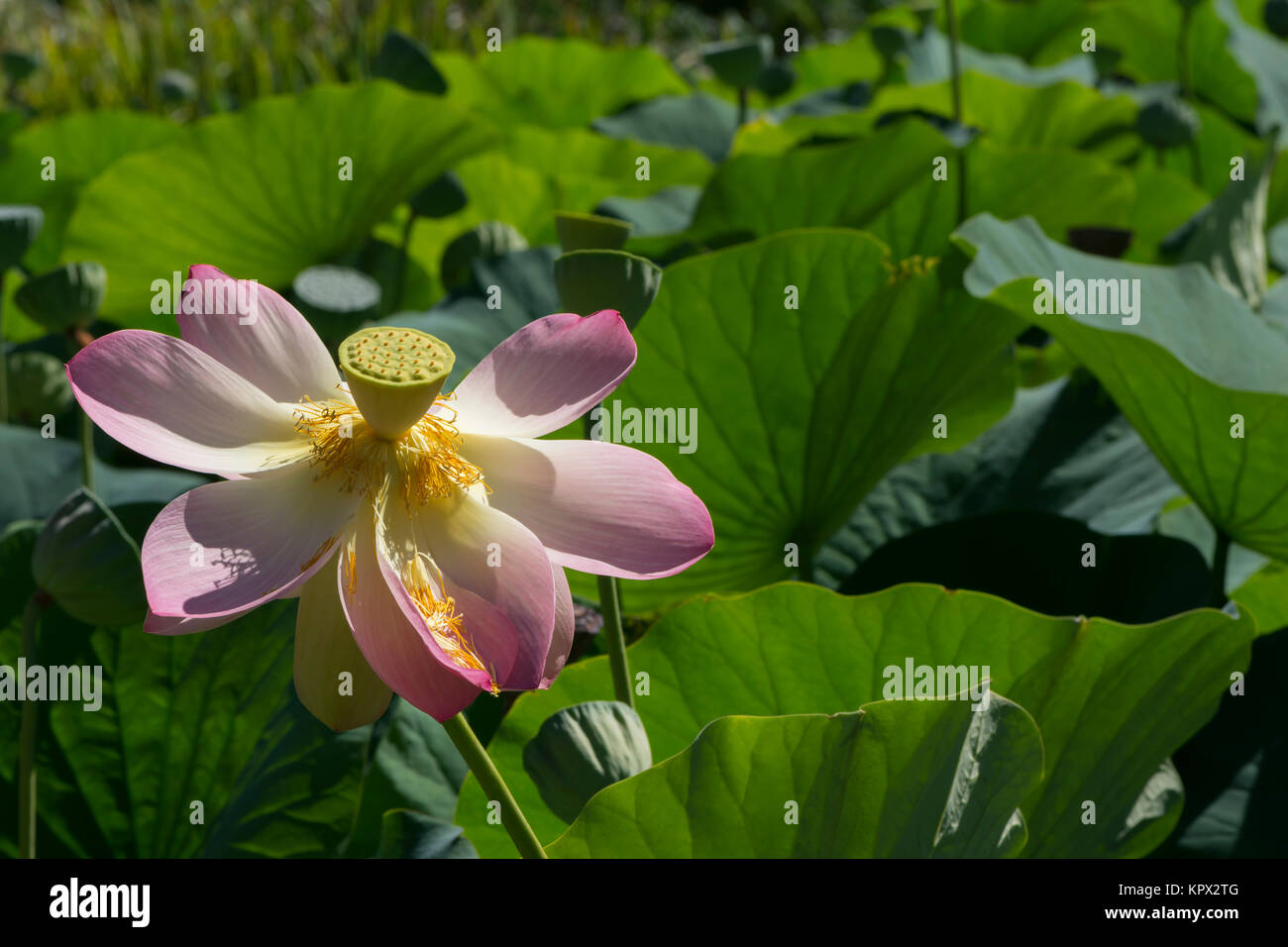 Nelumbo Nucifera Sacred Lotus Flower In The Midst Of Leaves And