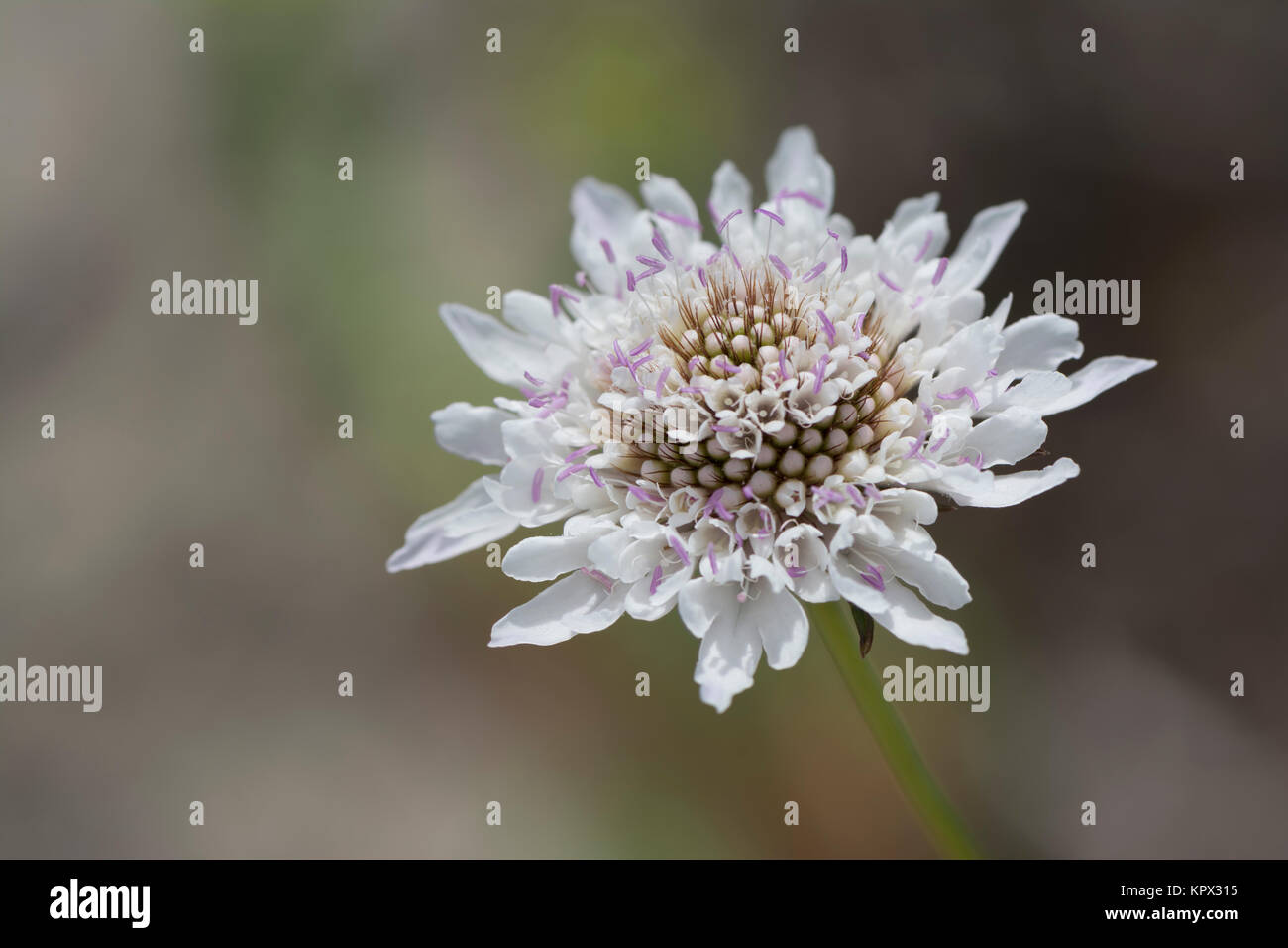 White Scabiosa Pincushion Flower Flower Head With Blurred Natural