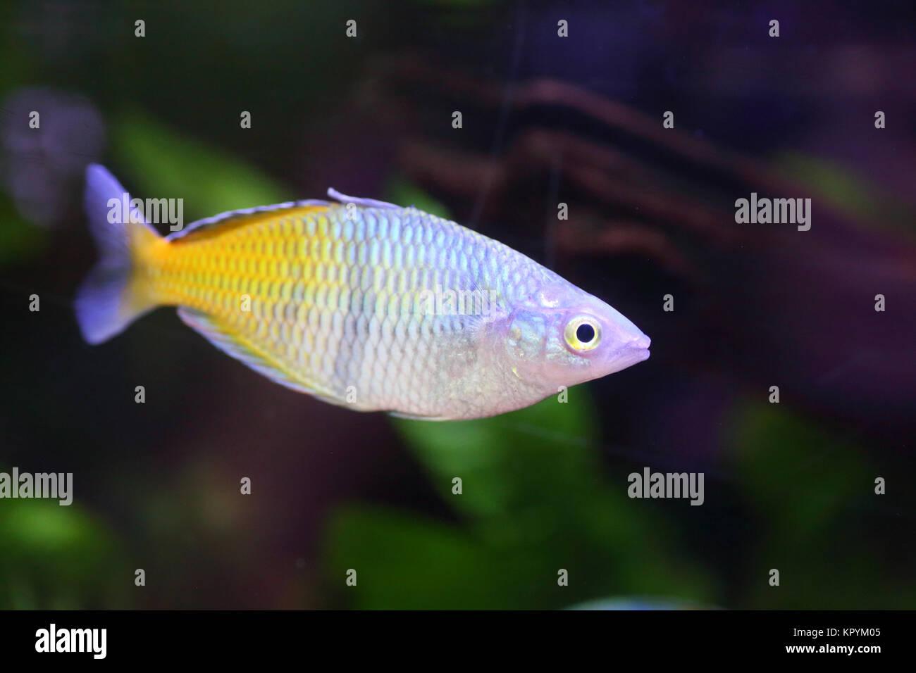 Rainbowfish Stock Photos Rainbowfish Stock Images Alamy