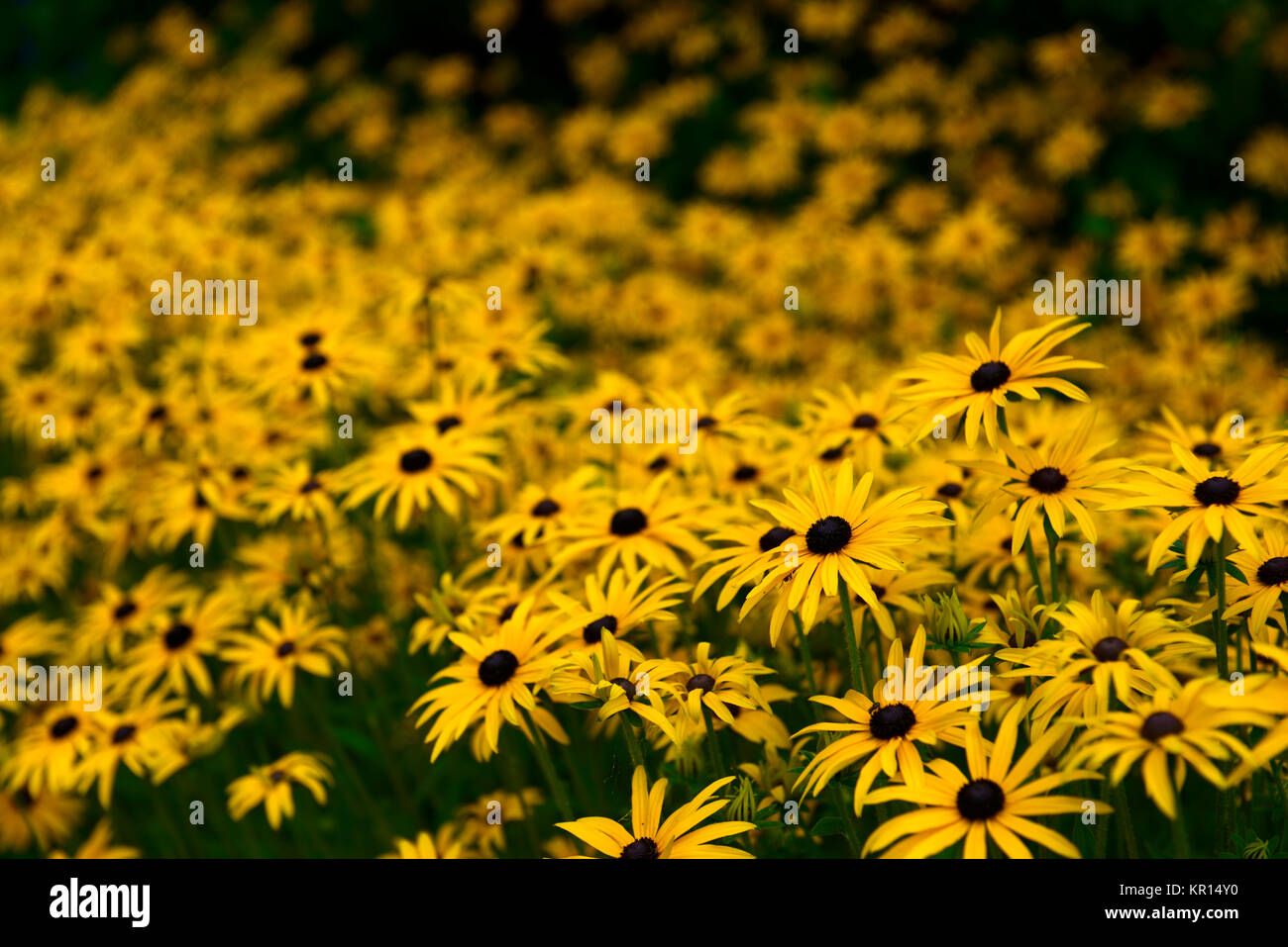 Rudbeckia hirtablack eyed stock photo 169056244 alamy rudbeckia hirtablack eyed susangoldyellowflowerflowersflowering perennial late summerearly autumnrm floral mightylinksfo