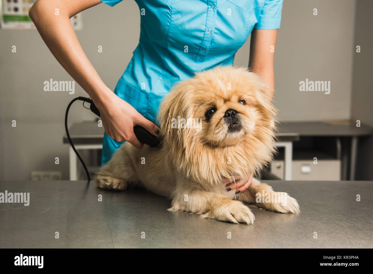 Shih Tzu Getting Haircut From Female Groomer Female Dog Groomer