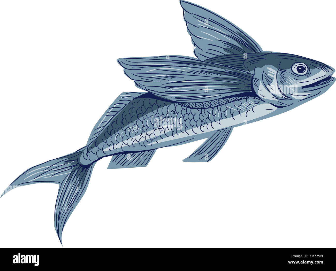 Exocoetidae stock photos exocoetidae stock images alamy for Flying fish drawing