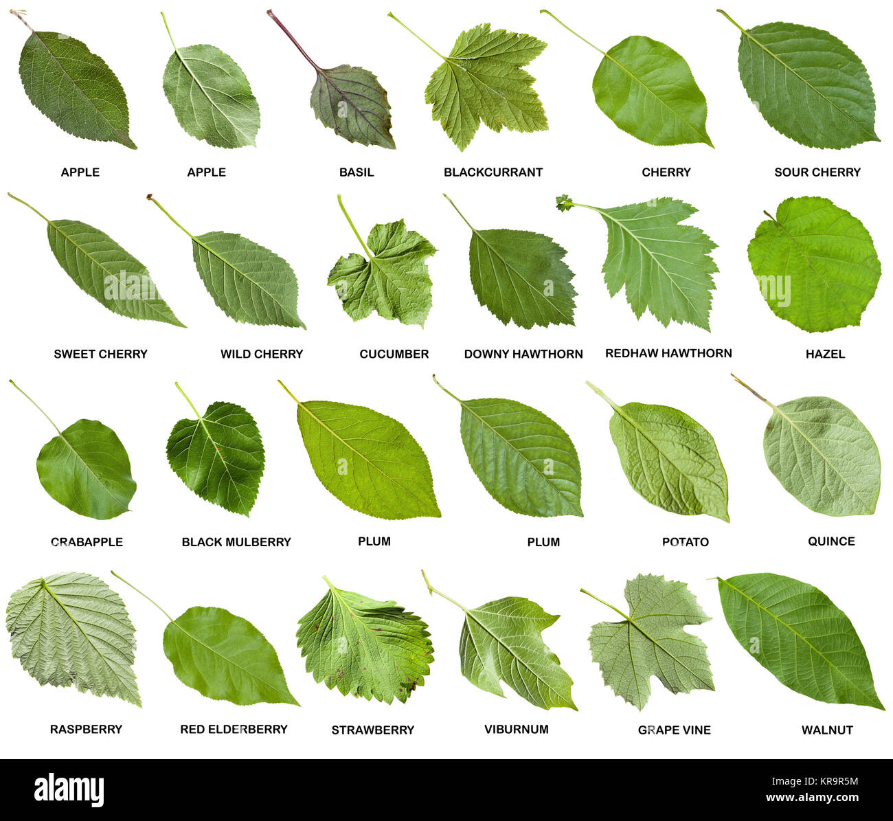 hawberry leaf stock photos amp hawberry leaf stock images