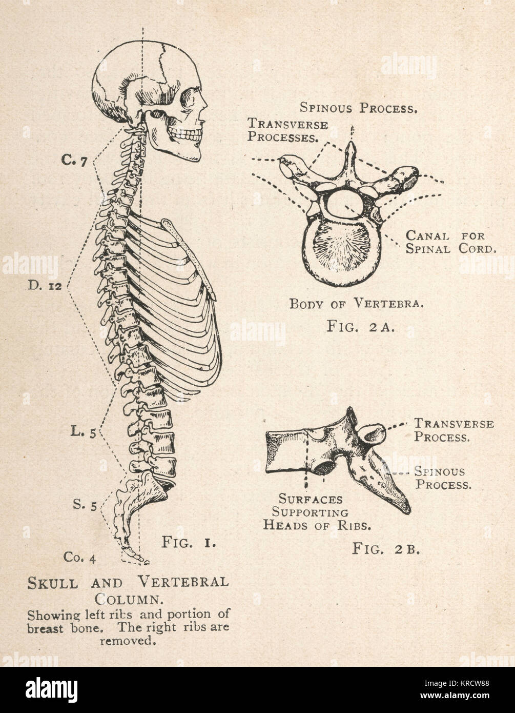 Diagram of the spinal cord stock photos diagram of the spinal a diagram of the human skull and vertebral column showing the left ribs and a pooptronica Choice Image