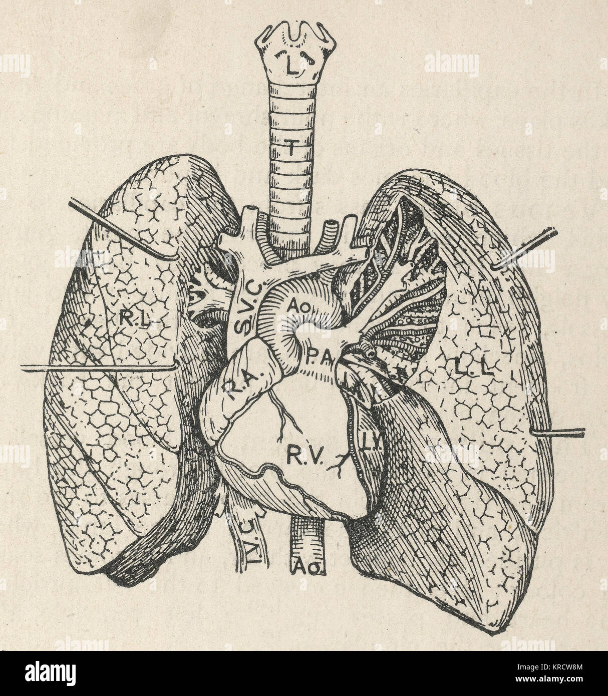 Human lungs heart and trachea stock photos human lungs heart and diagram of the heart lungs and windpipe date 1908 stock image ccuart Images