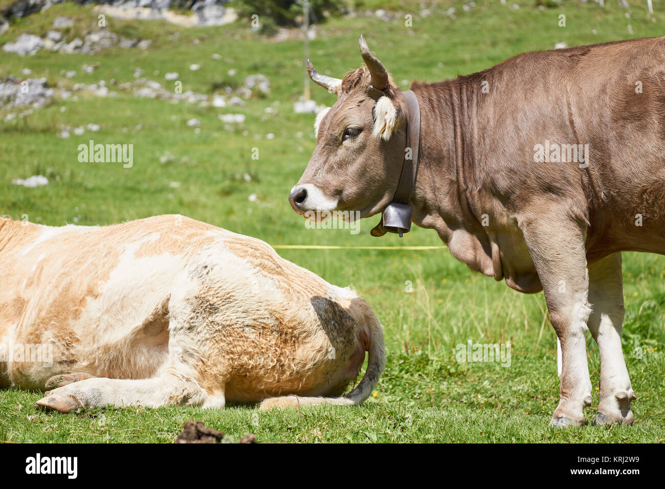 Brown Swiss Cow Stock Photos & Brown Swiss Cow Stock ...