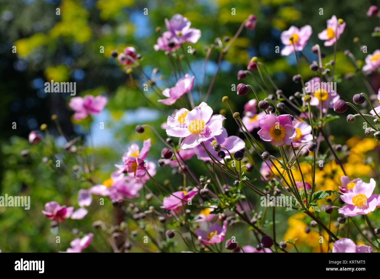 Herbst Anemone Im Sommer Japanese Anemone Flowers Anemone Stock