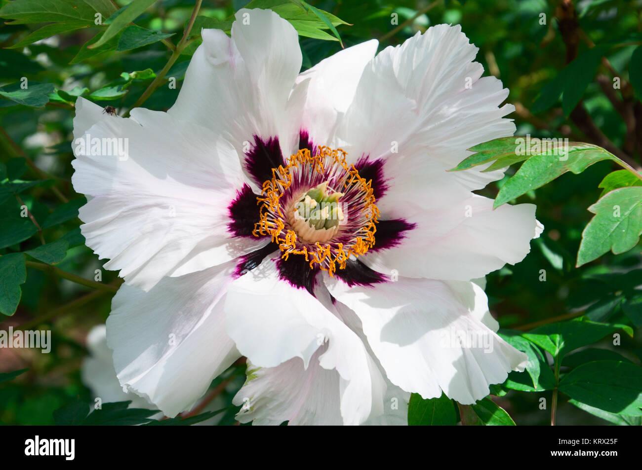 Large White Flower Peony Tree Stock Photo 169602875 Alamy