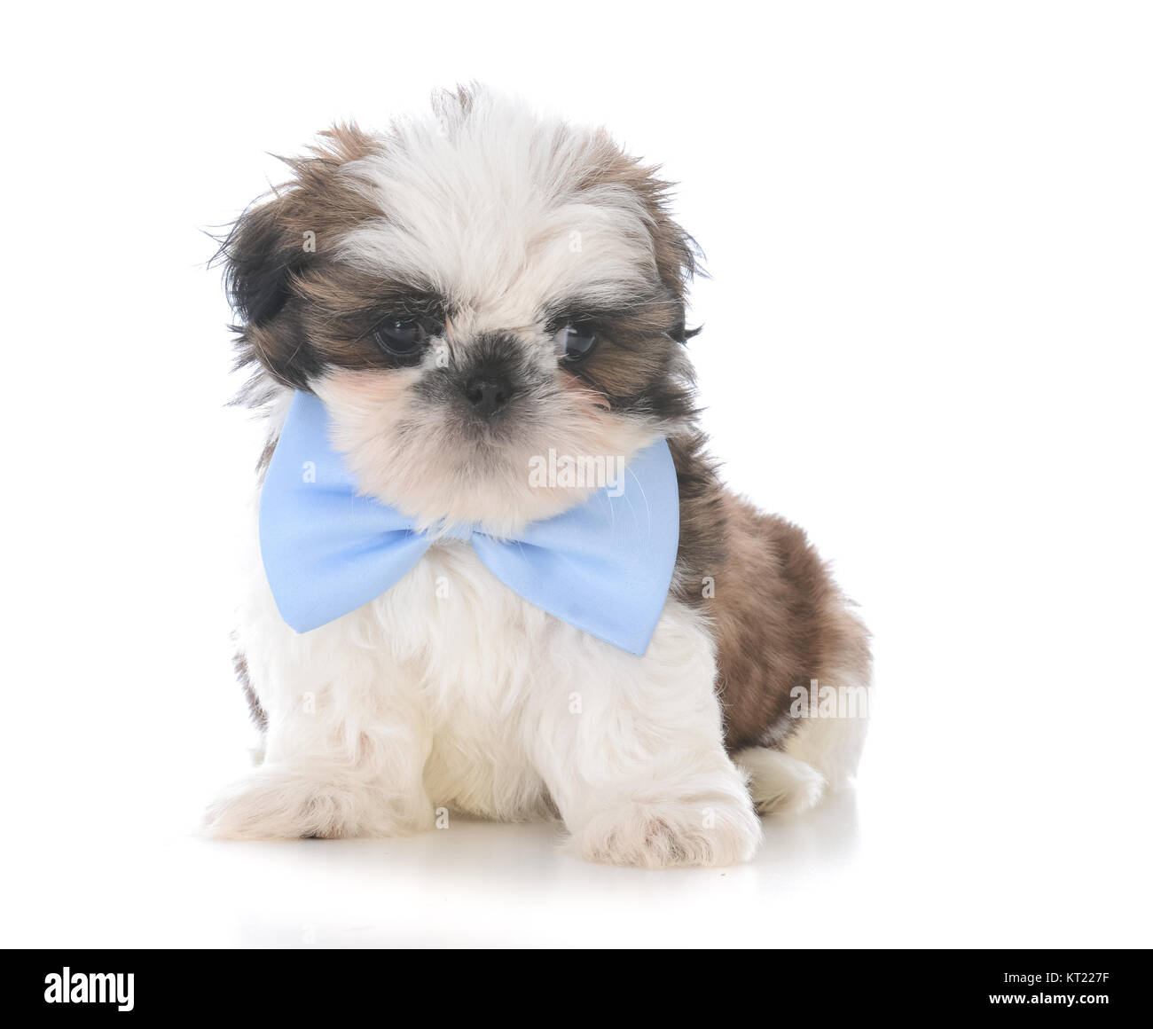 Male Shih Tzu Puppy Wearing A Blue Bow Tie On White Background Stock