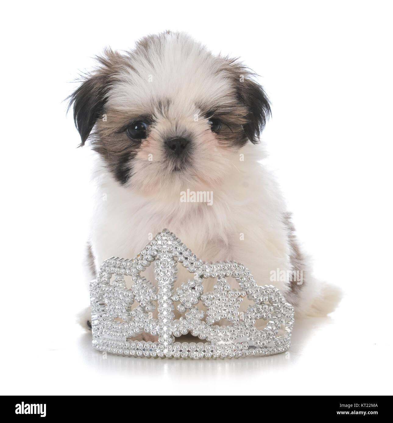 Female Shih Tzu Puppy Sitting Inside A Tiara On White Background
