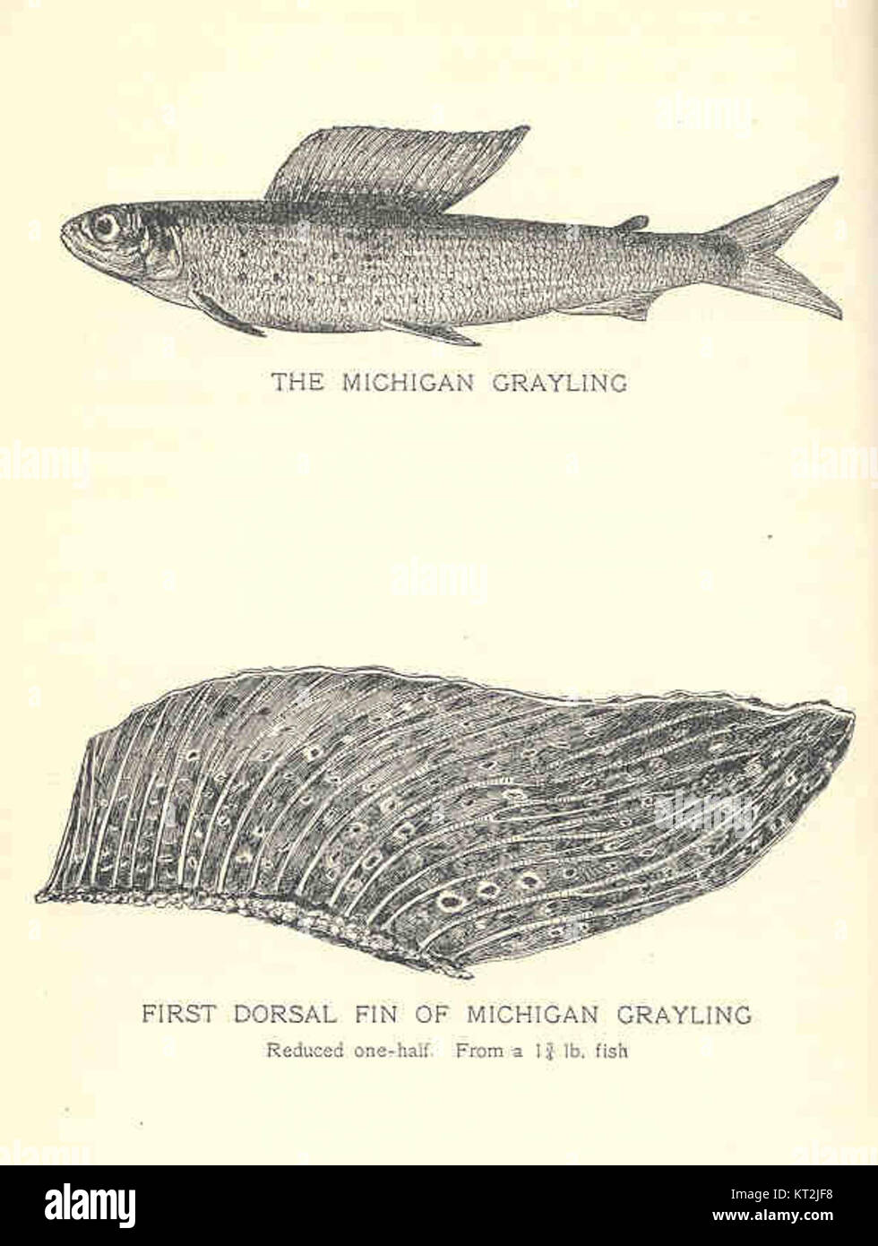 Grayling Fish Michigan   35745 Michigan Grayling First Dorsal Fin Of Michigan Grayling