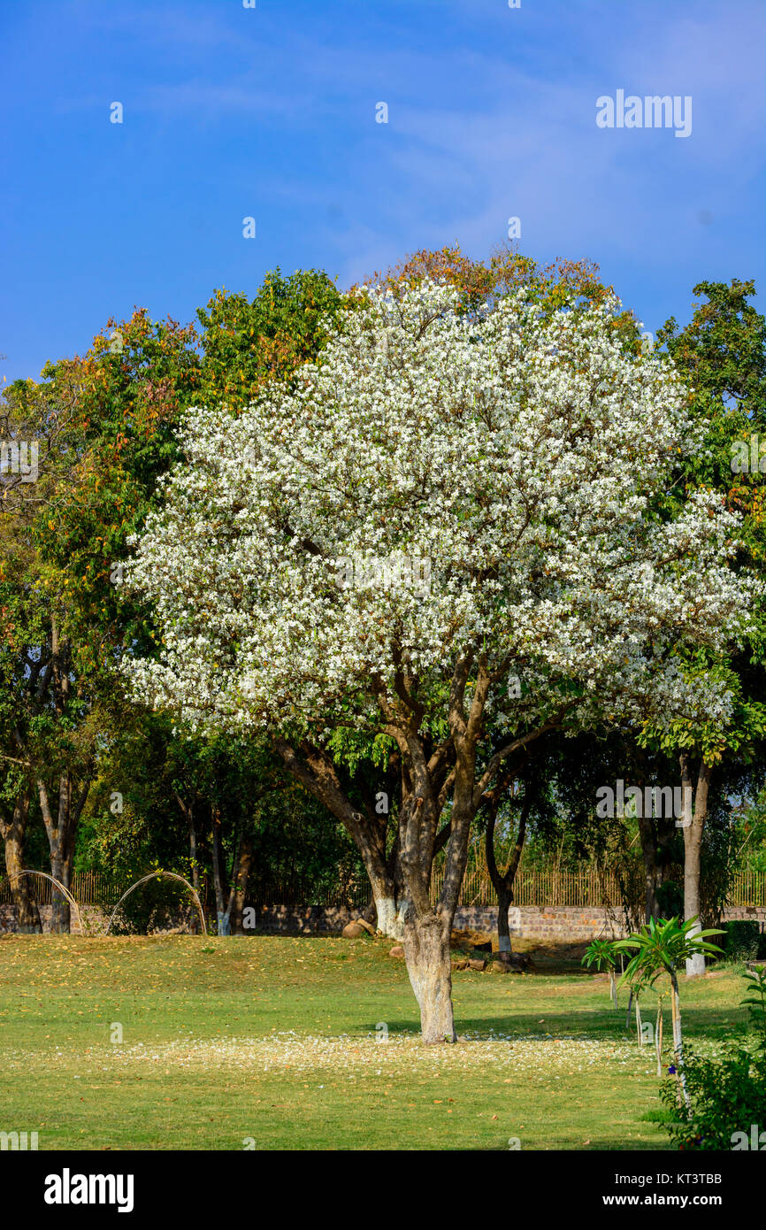 White Bougainvillea Tree With Blue Sky Background Stock Photo