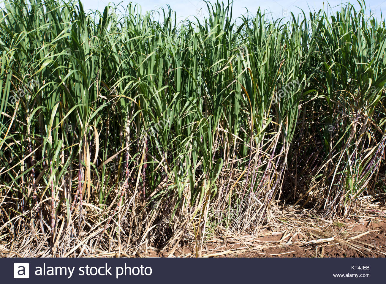Cuba Sugar Plantation Stock Photos & Cuba Sugar Plantation ...