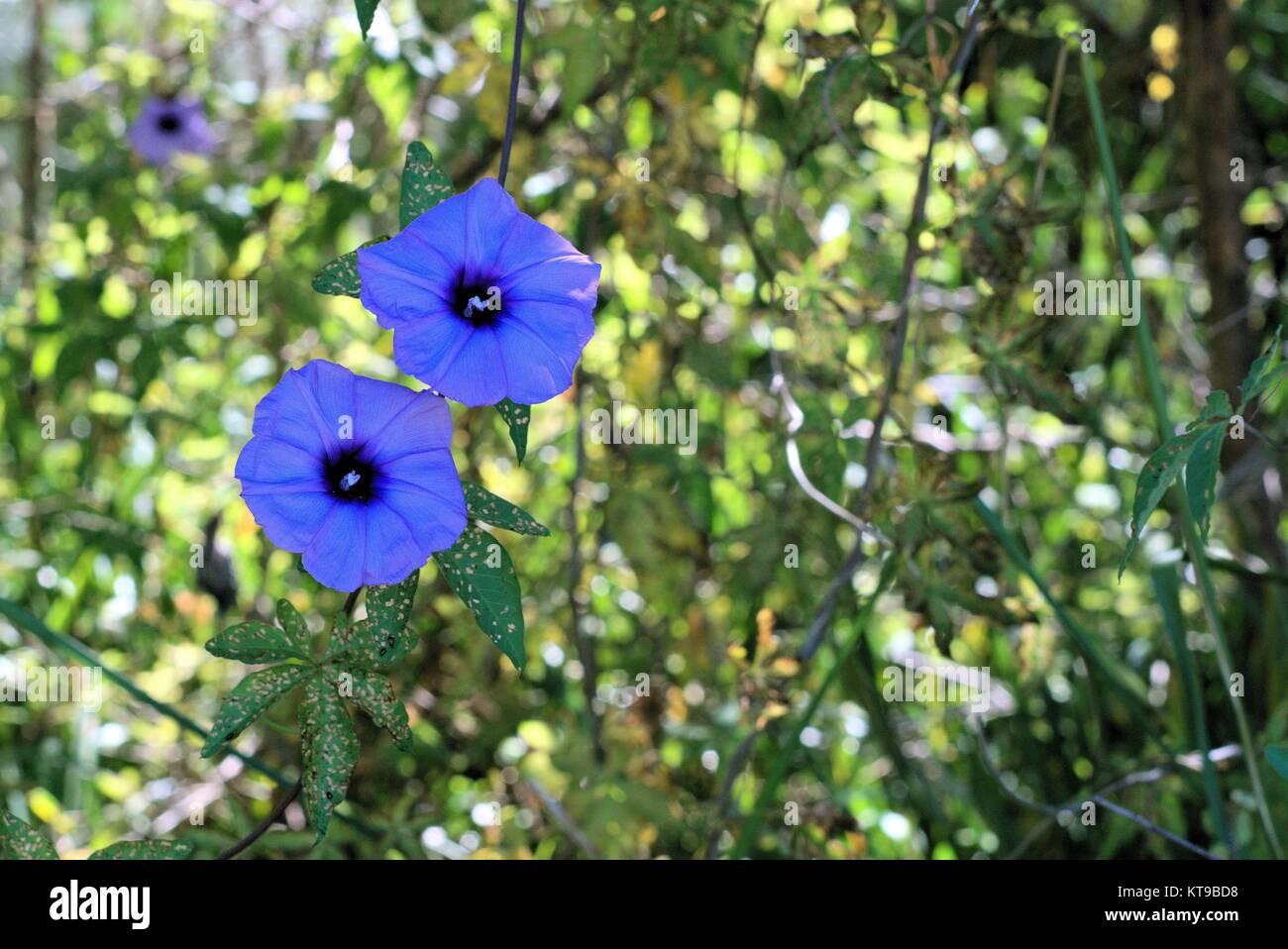 Purple flower weed found in australia and other tropical regions of purple flower weed found in australia and other tropical regions of the world mightylinksfo