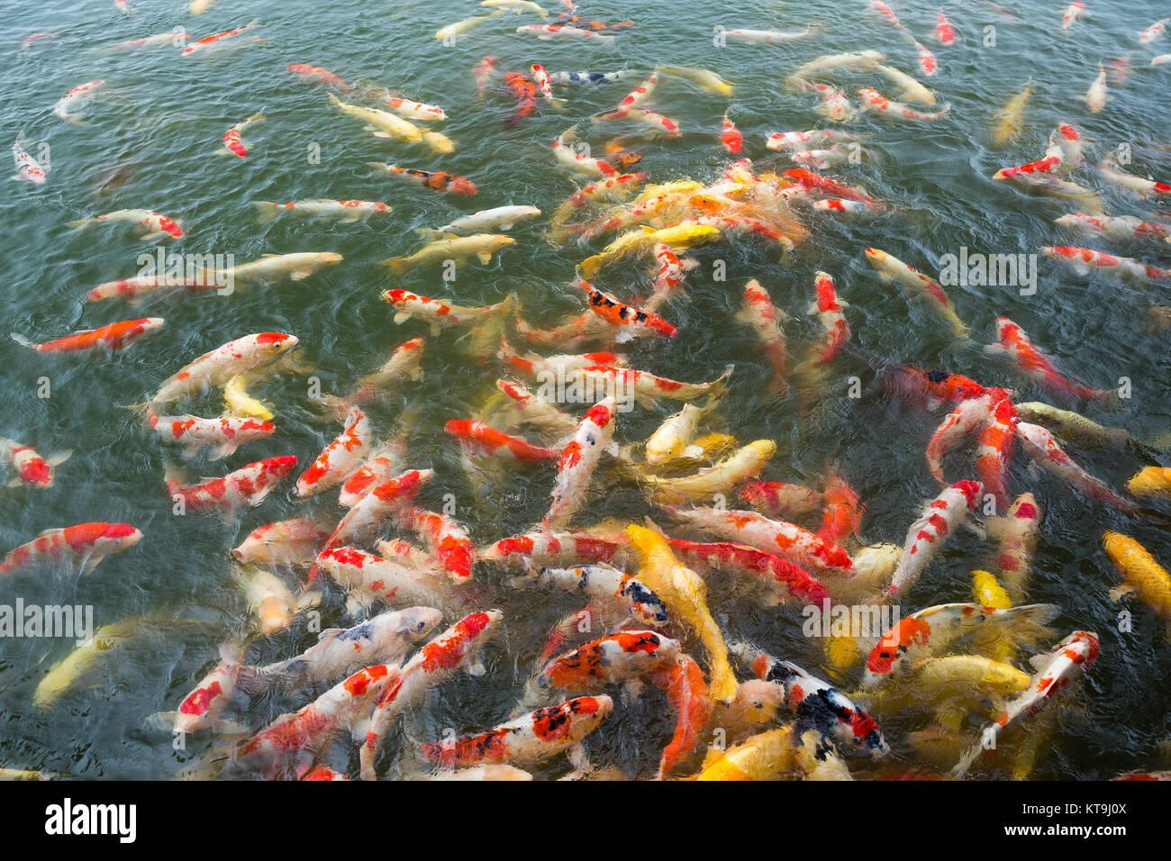 Bighead carp stock photos bighead carp stock images alamy for Colorful pond fish