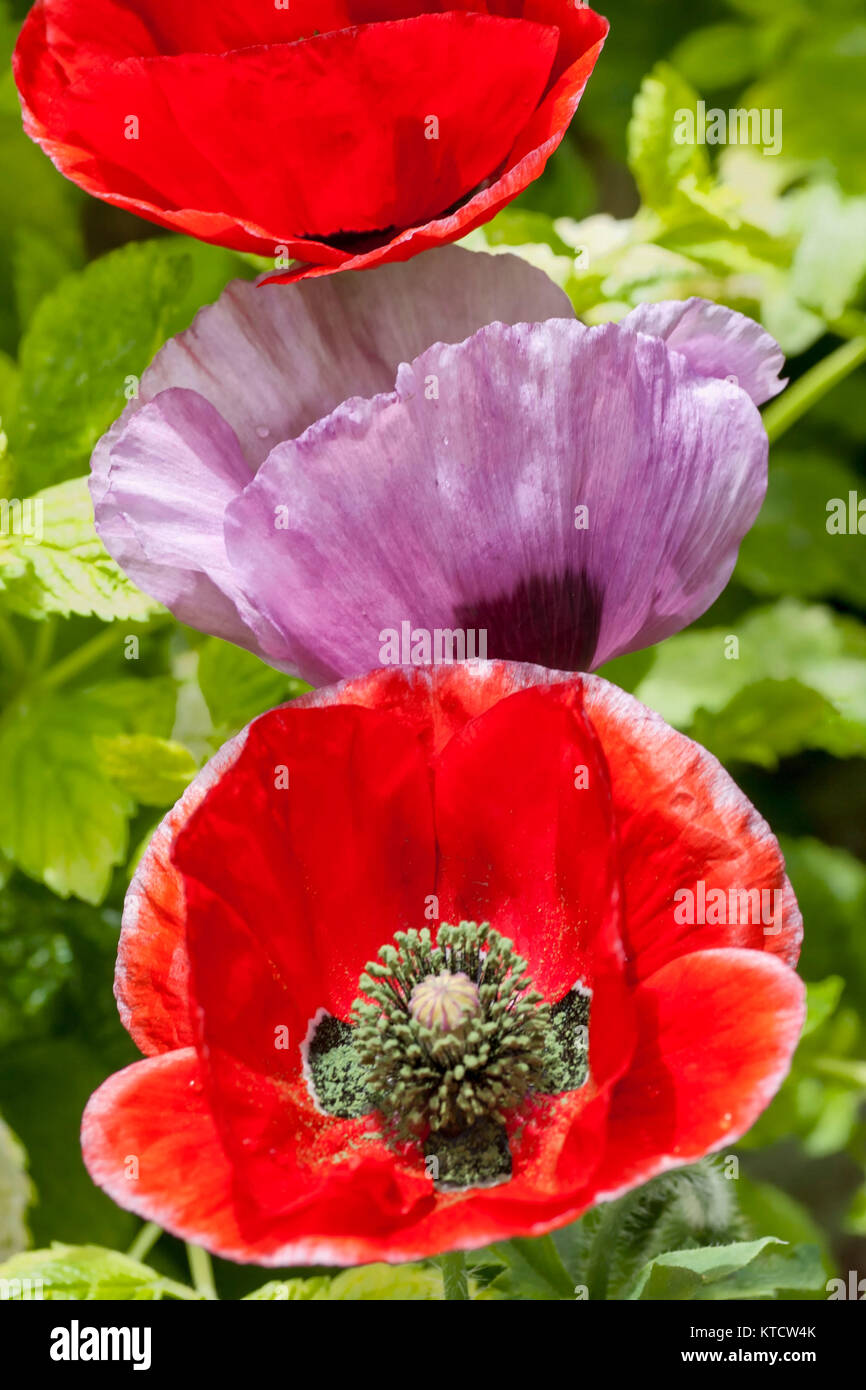 Red And Pink Poppies Flowers Close Up Stock Photo 169928211 Alamy