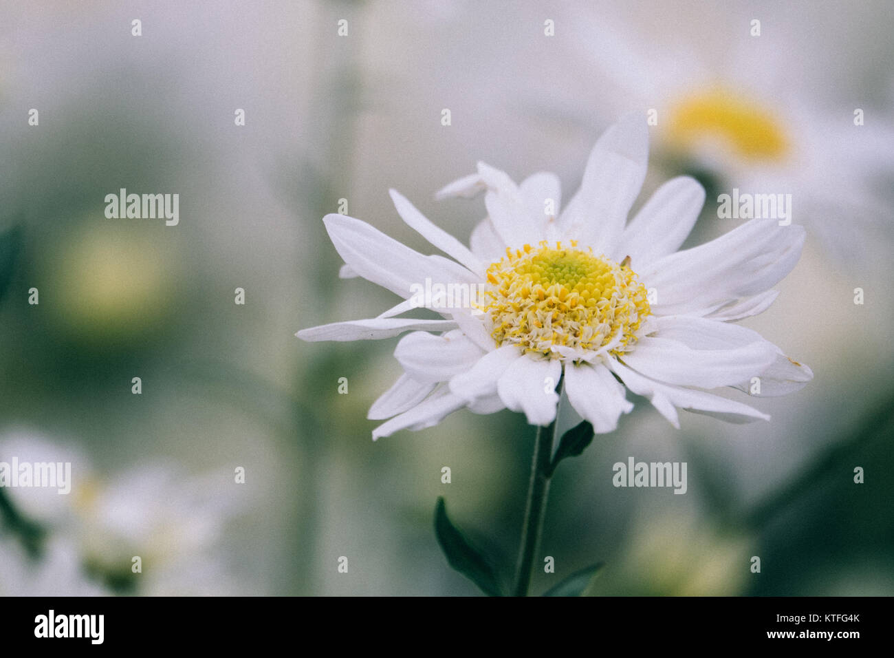 Vintage colour beautiful daisy flowers with the vintage background beautiful daisy flowers with the vintage background izmirmasajfo Choice Image