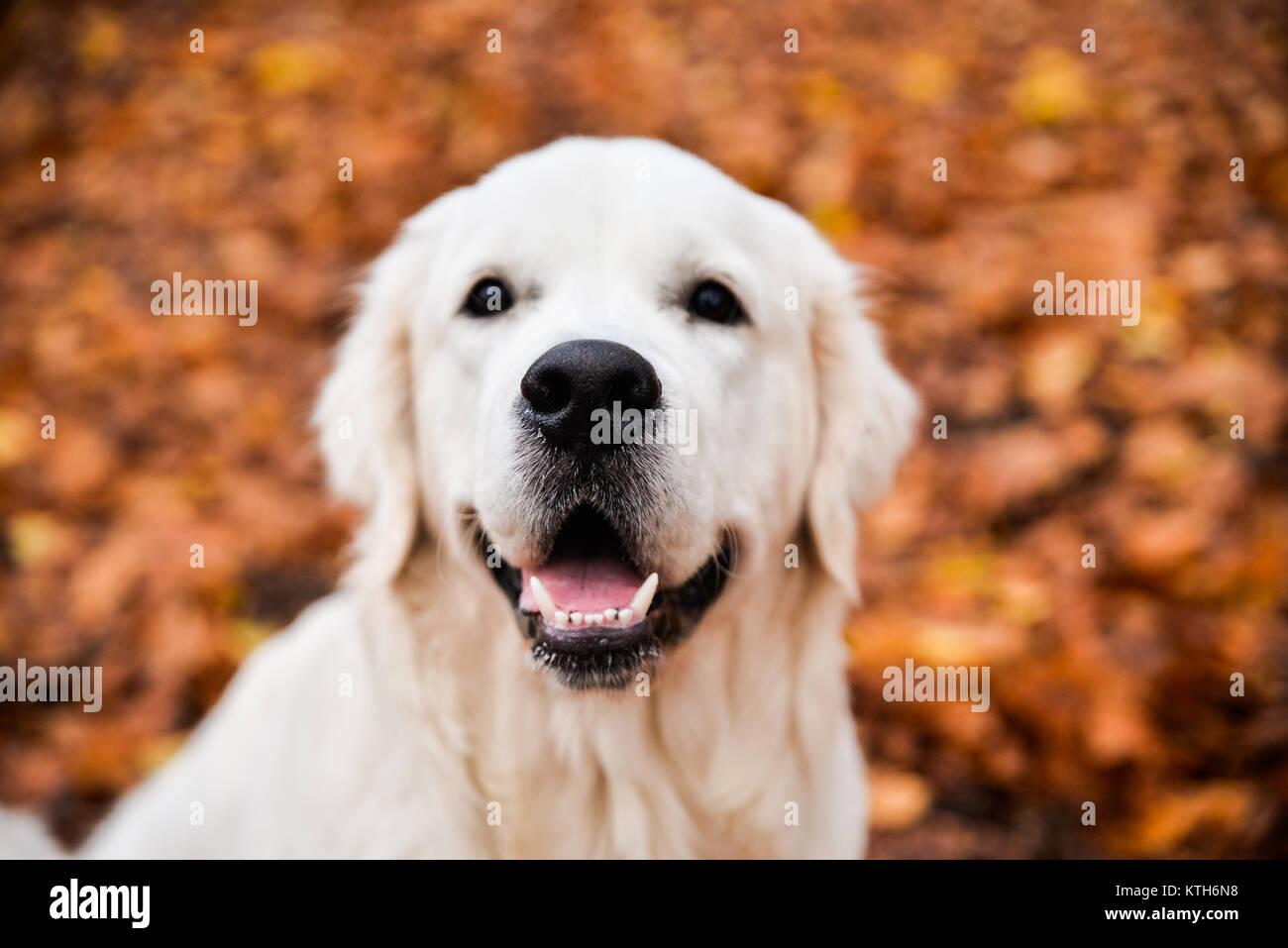 Golden Retriever Gentle Expression Portrait Nose Focused Stock