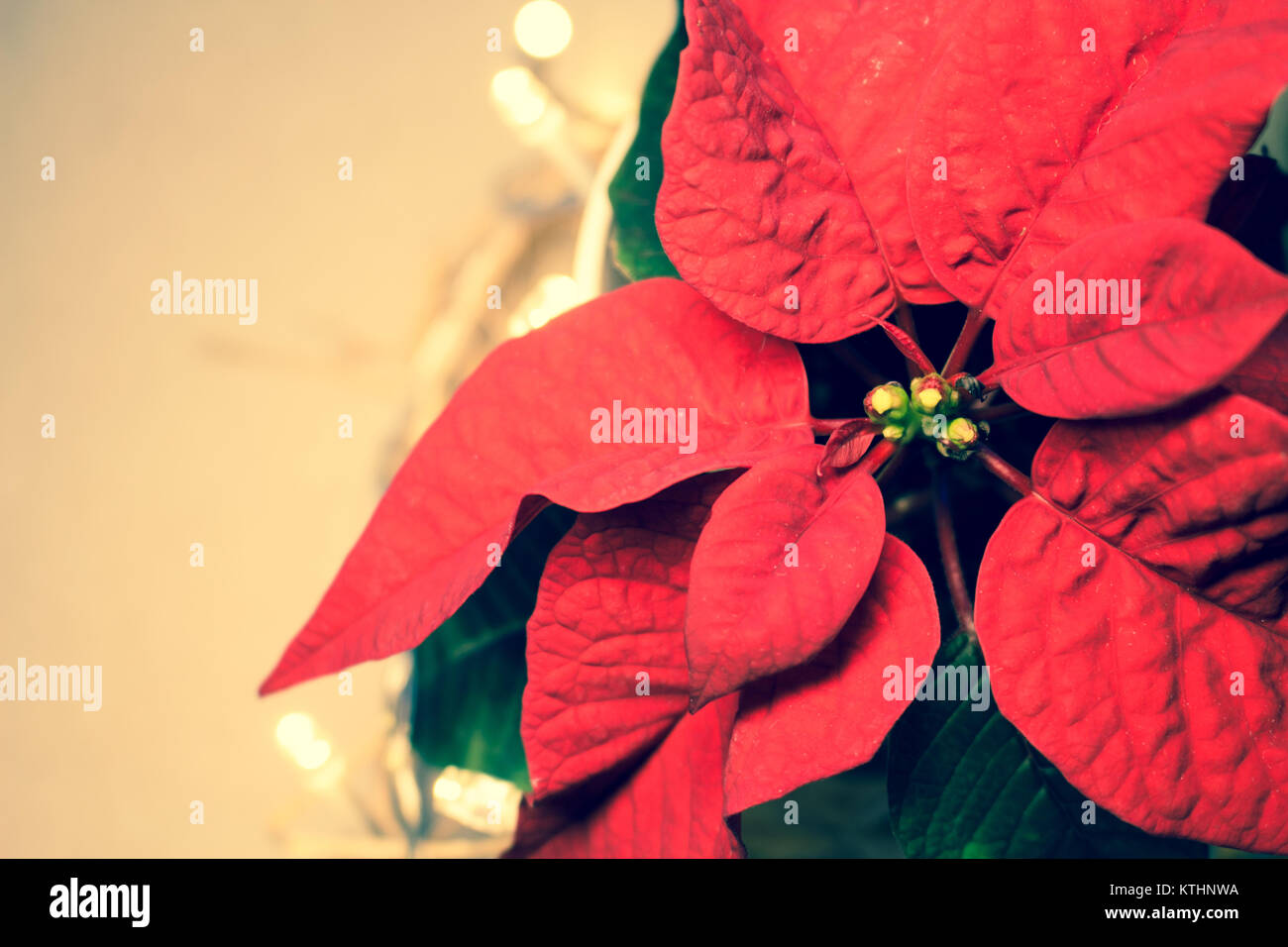 Poinsettia. Red christmas star. Traditional holiday flower Stock ...