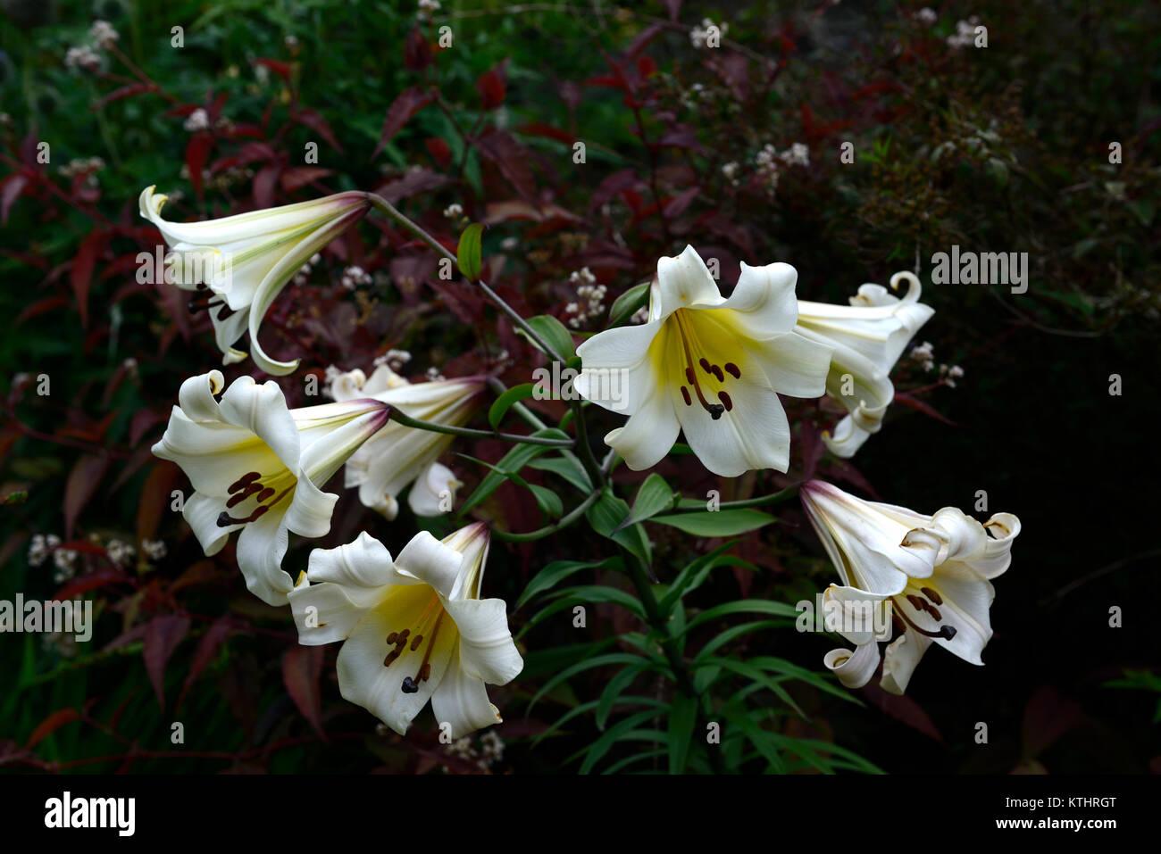 Lilium stock photo 170036744 alamy lilium browniililylilieswhiteflowerflowerstrumpetfloweringplant portraitscloseuprm floral izmirmasajfo