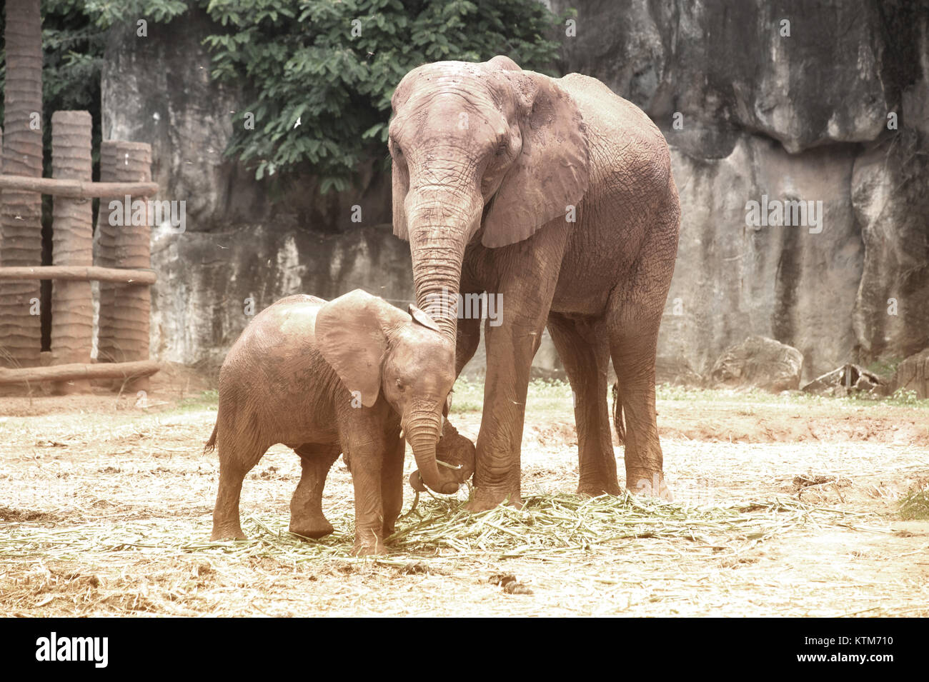 Are Elephants Mammals >> Elephants Are Large Mammals Of The Family Elephantidae And The Order
