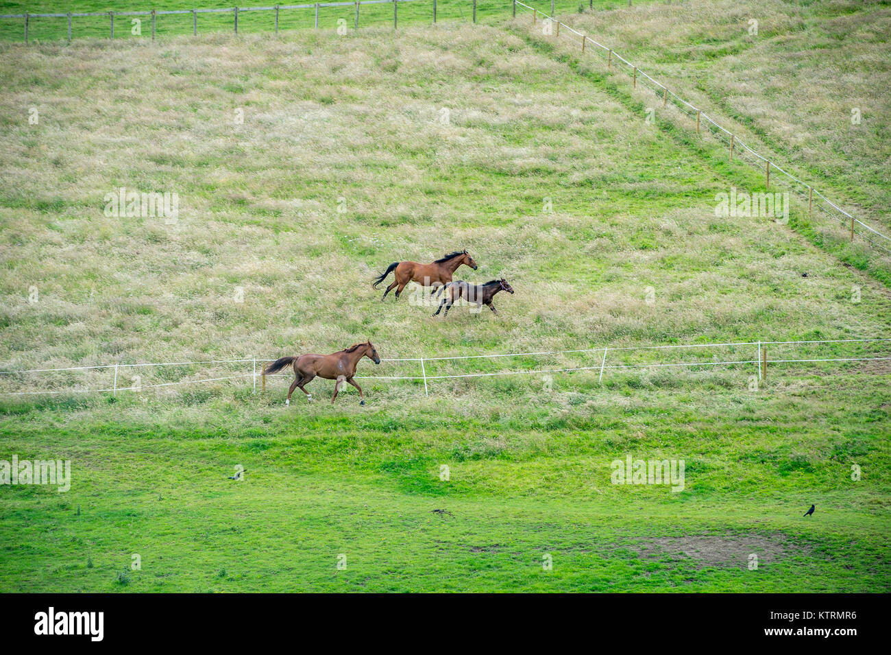 spirited team of racing horses gallop through grassy meadow stock
