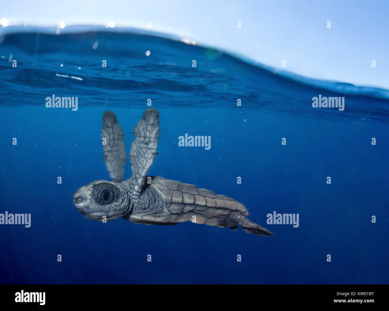 baby sea turtle swimming stock photos amp baby sea turtle