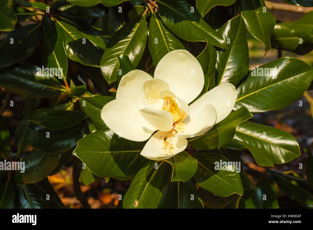 The magnolia grandiflora is an ornamental tree with large and shiny the magnolia grandiflora is an ornamental tree with large and shiny leaves and white fleshy and scented flowers mightylinksfo