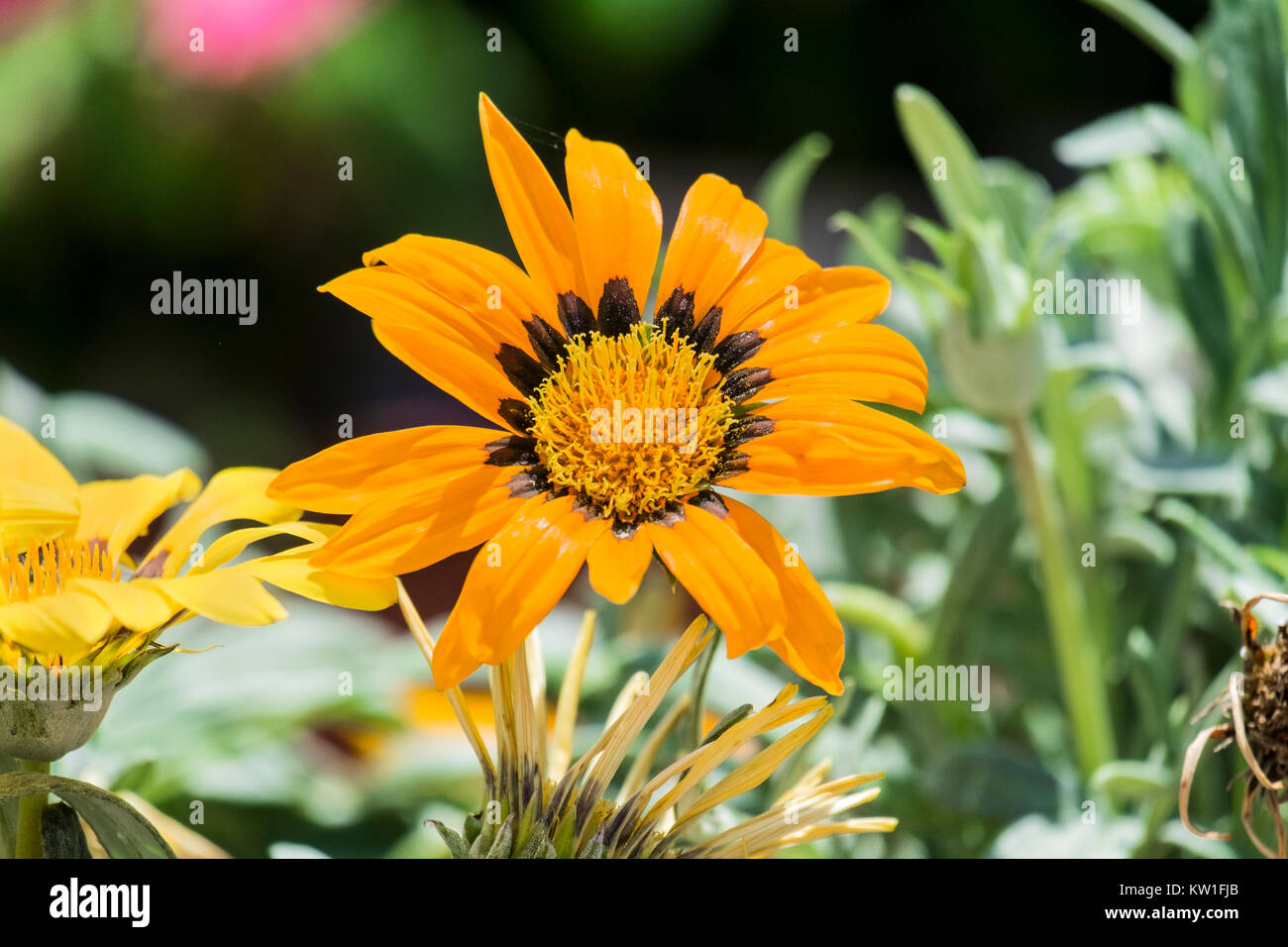Fiery Orange Flower With A Yellow Center And A Black Border Around