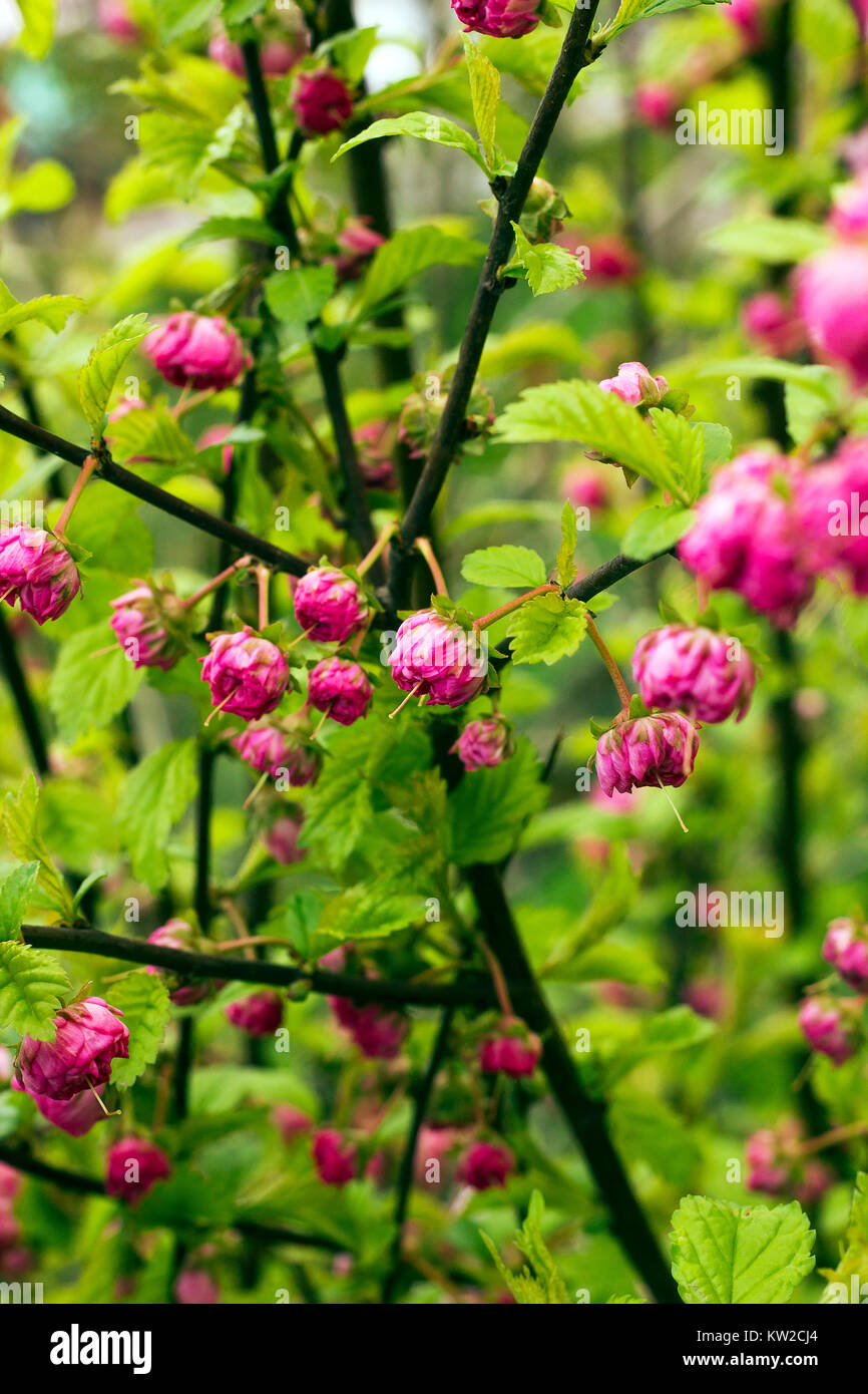 Branches of bush with pink flowers prunus triloba louiseania stock branches of bush with pink flowers prunus triloba louiseania triloba flowering plum or flowering almond mightylinksfo Images