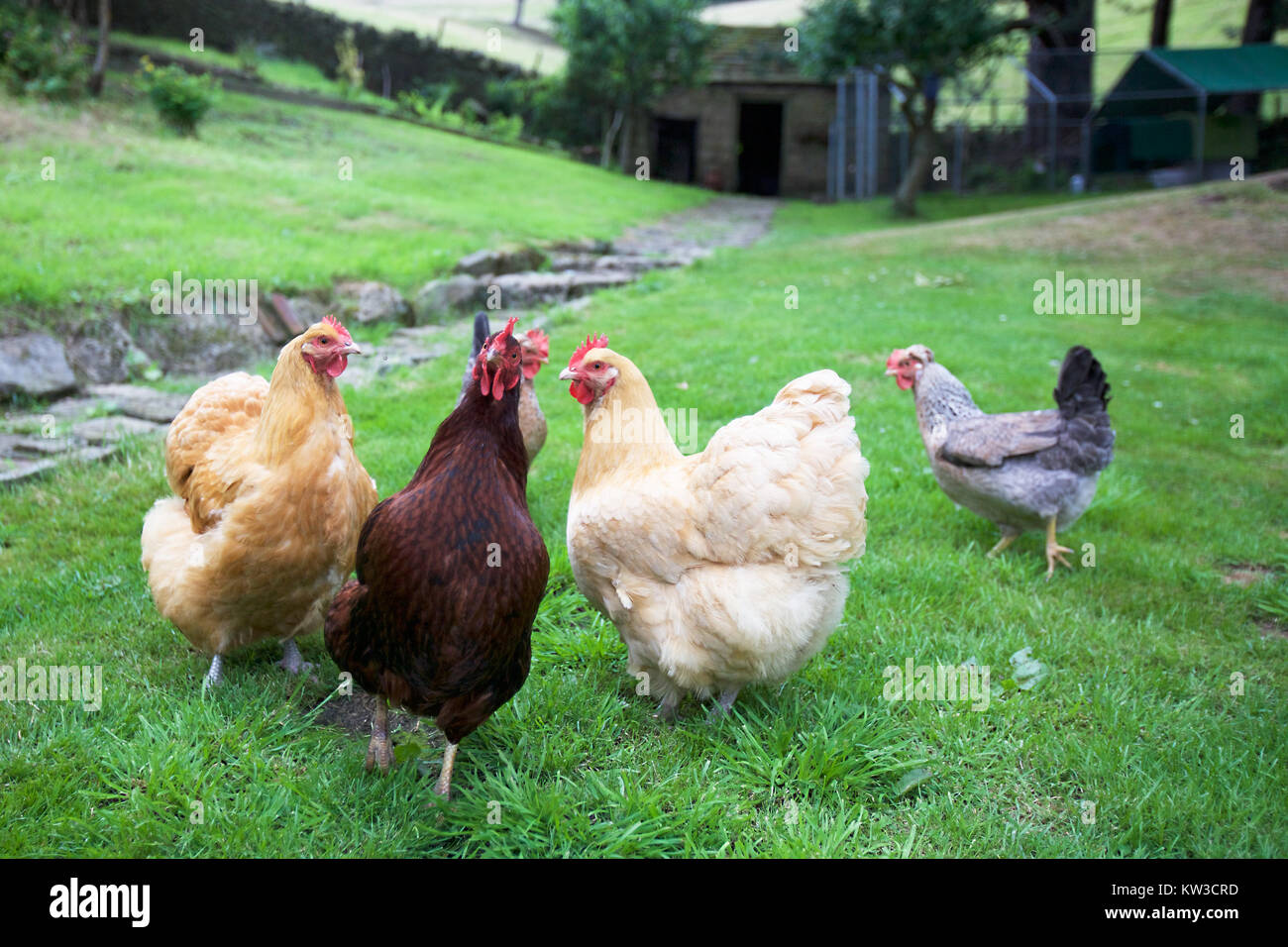 Hühnerhaltung Im Garten hühner im garten stock photos hühner im garten stock images alamy