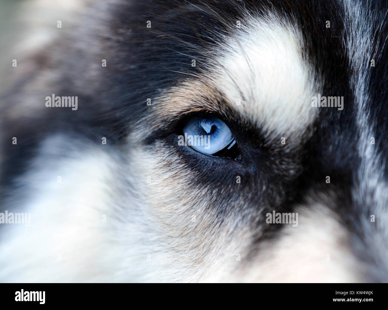 Close Up Of Siberian Husky With Blue Eye Looking Dangerous Stock