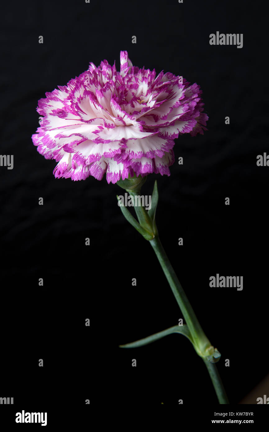Carnation Flower Pink And White On Black Background Stock Photo
