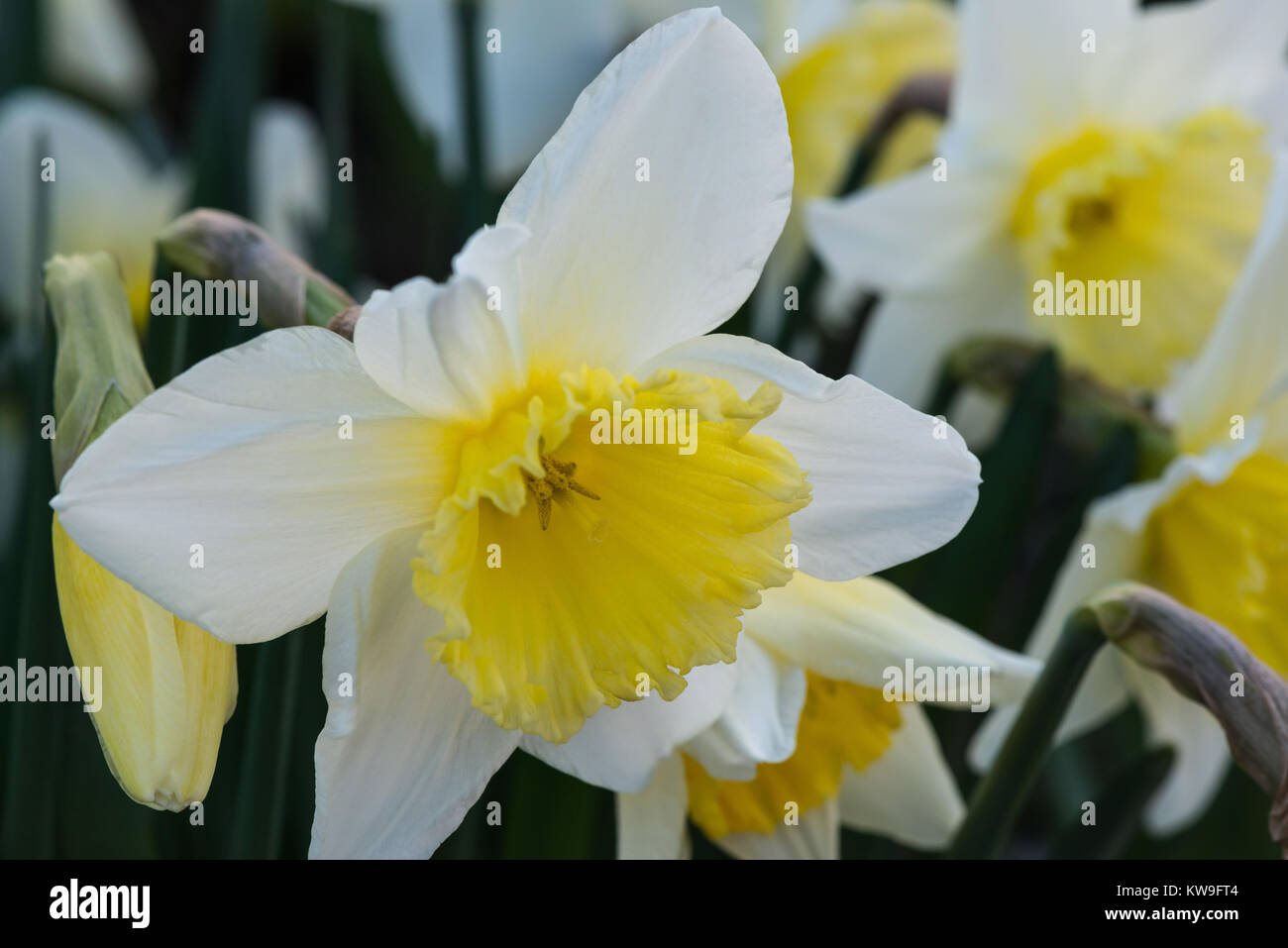 Daffodils Flowering In Early Spring In An English Garden In Close Up
